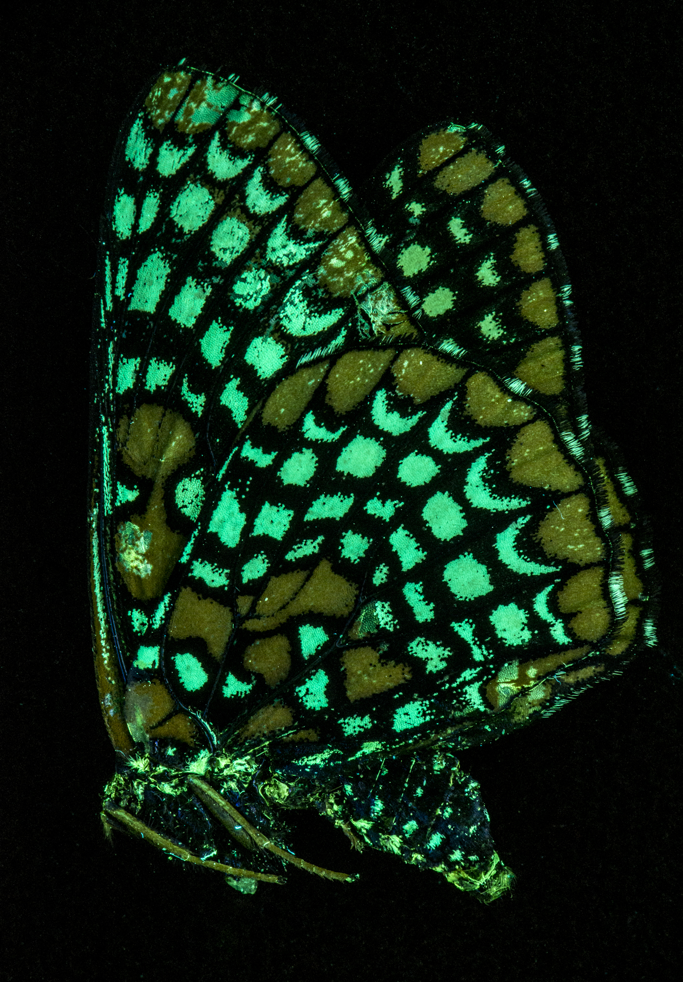 Fluorescence Emission from Butterfly