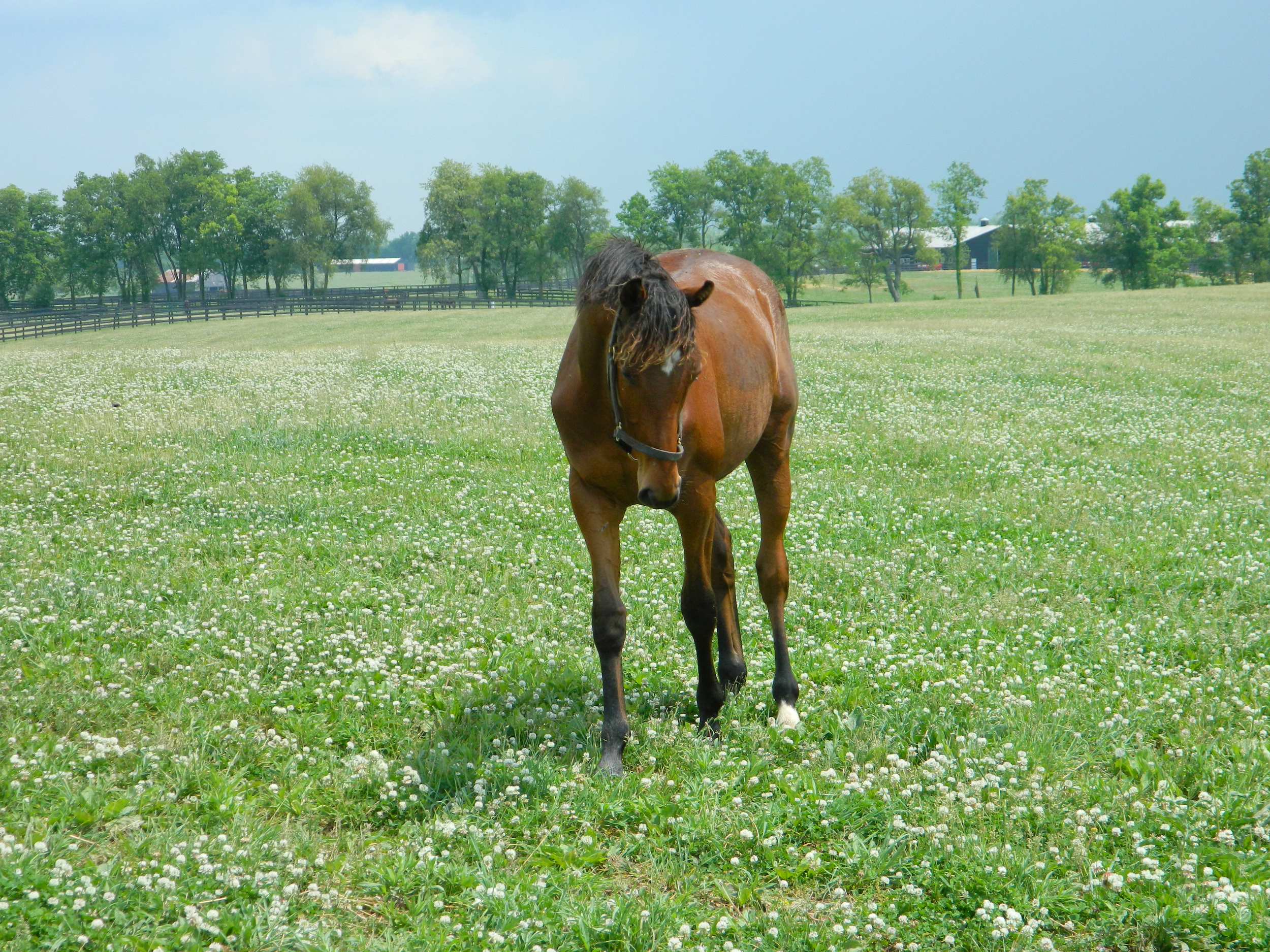 Year old colt in a Kentucky pasture. His body expression says everything about the breed.
