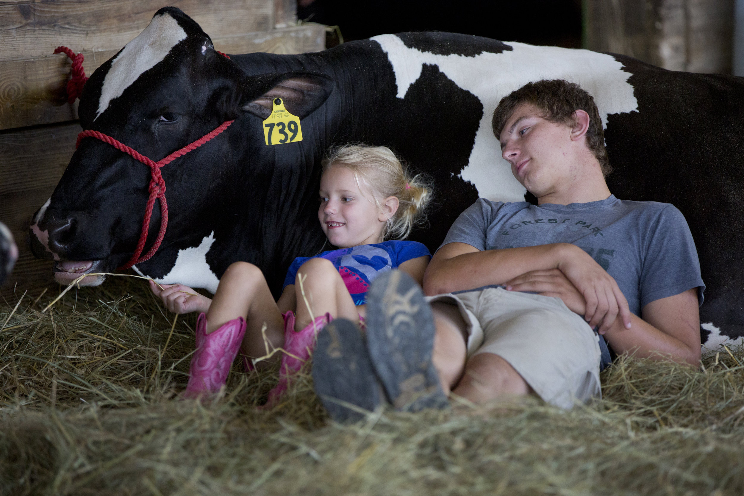 Kensley Gogel of St. Henry, 6, fed hay to one of dairy cows that Zach Cline of Kyana, 18, showed this year at the Dubois County 4-H Fairgrounds in Bretzville on Wednesday.
