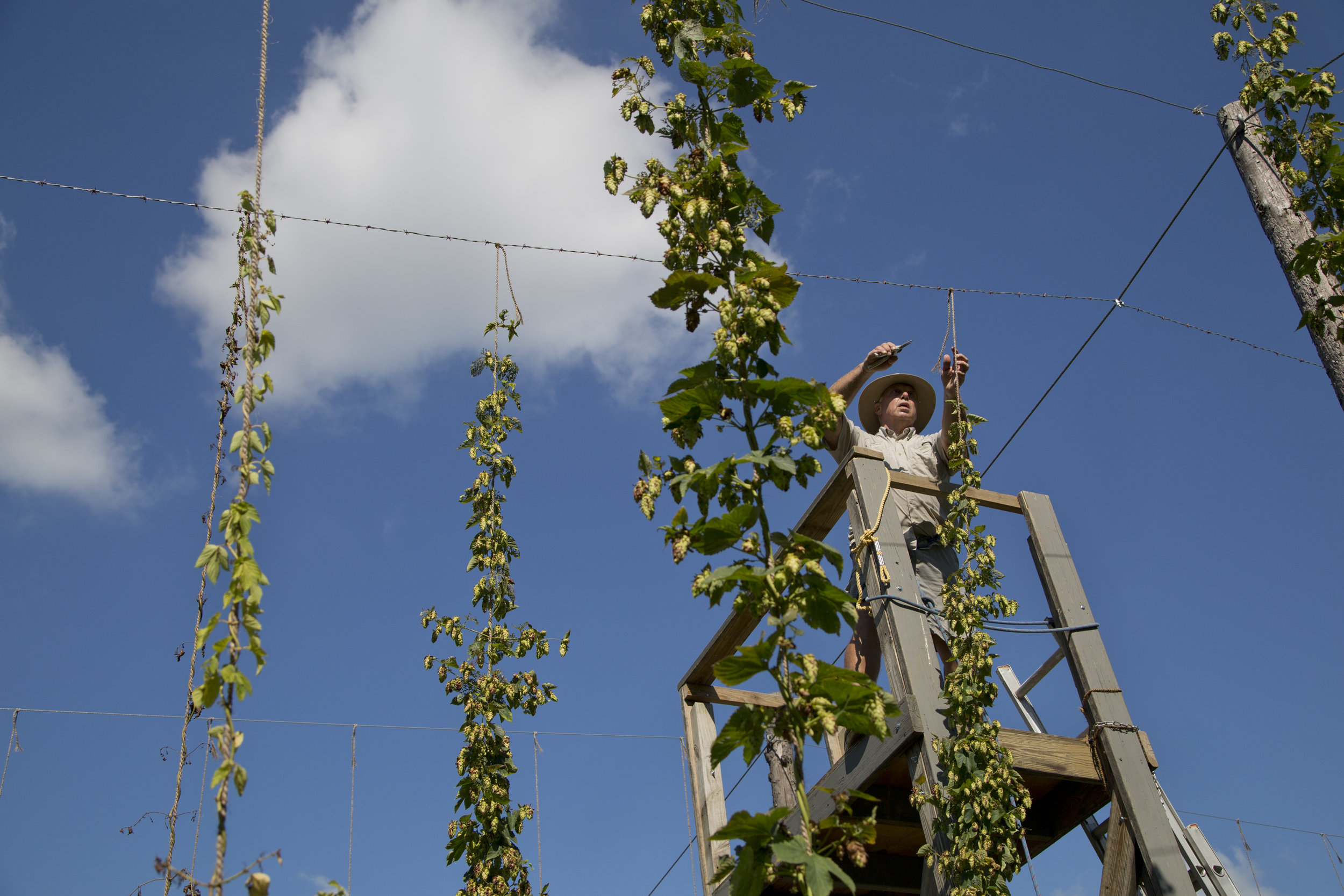 Dean Vonderheide of Jasper harvested Cascade hops at White River Hops farm in Haysville on Thursday. Cascade is one of the most popular hops variety for craft beer brewers. This is Vonderheide's second year growing hops.