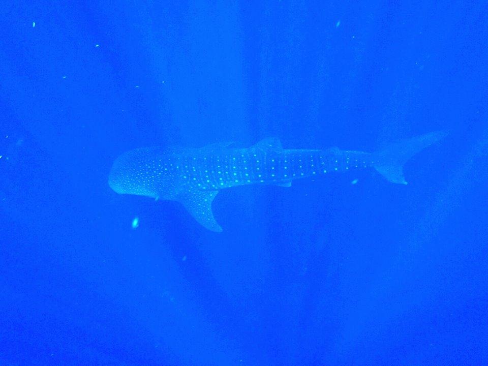 whaleshark!