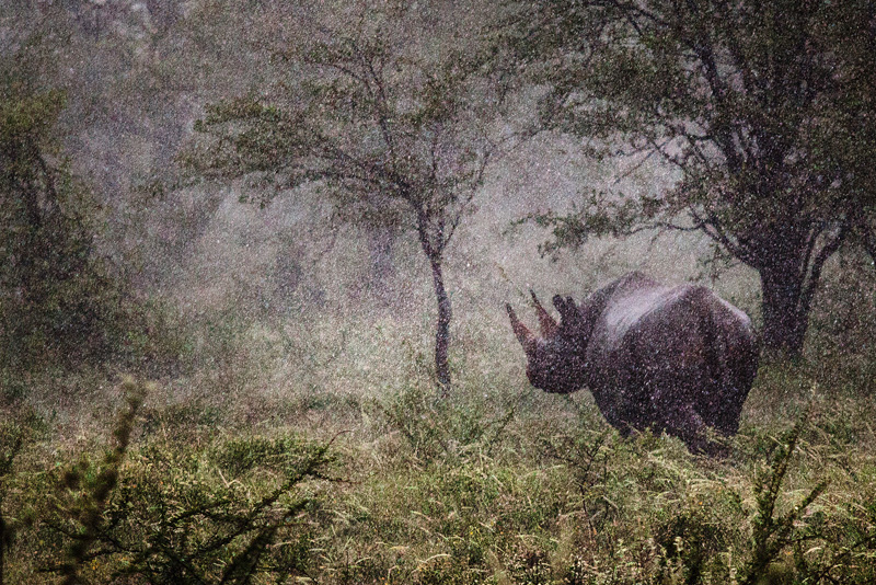 Someone with better eyes than me spotted this Rhino in the downpour