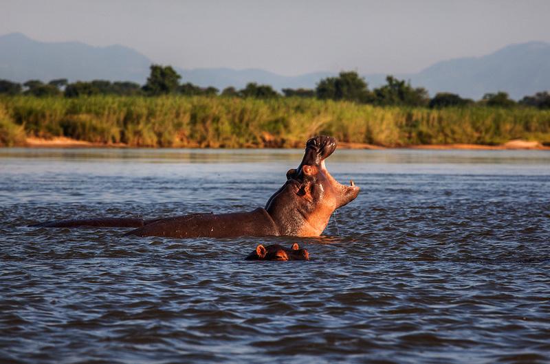 hippos in the lower Zambezi river