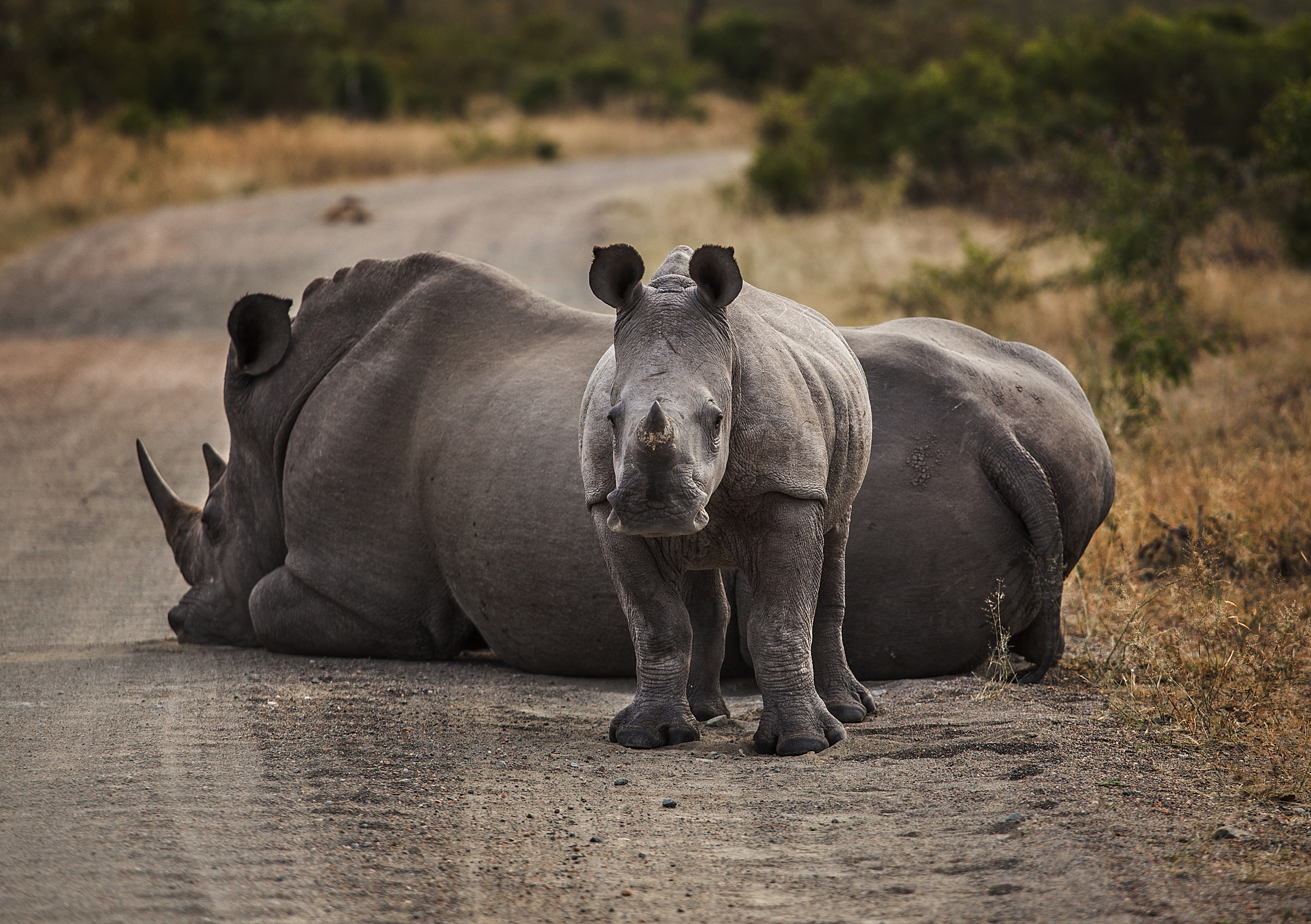 the rhinos liked laying on the road in the early mornings for extra warmth