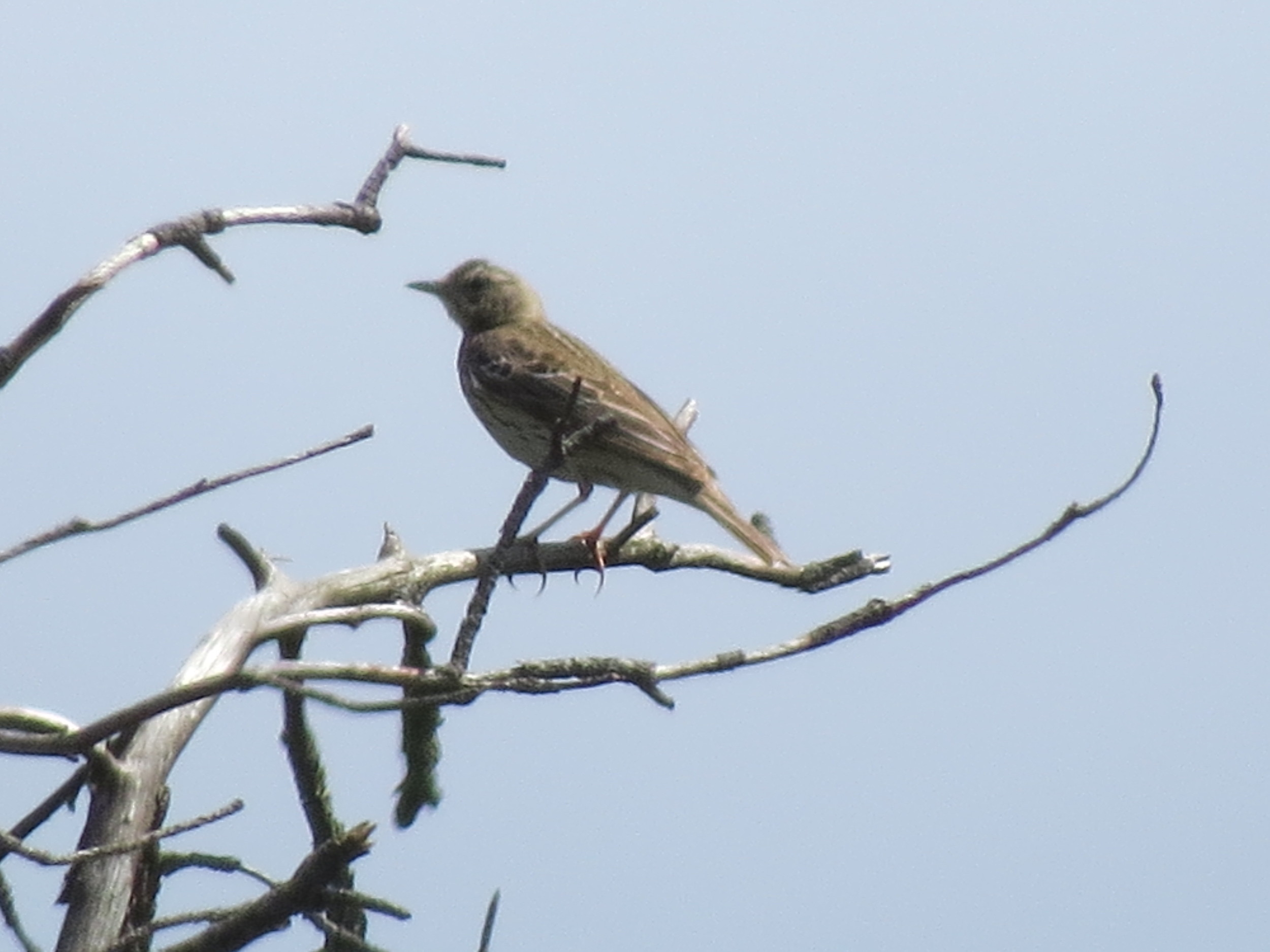 Meadow Pipit, sent in by Ruud from The Netherlands