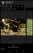 common_blackbird_gallery.png