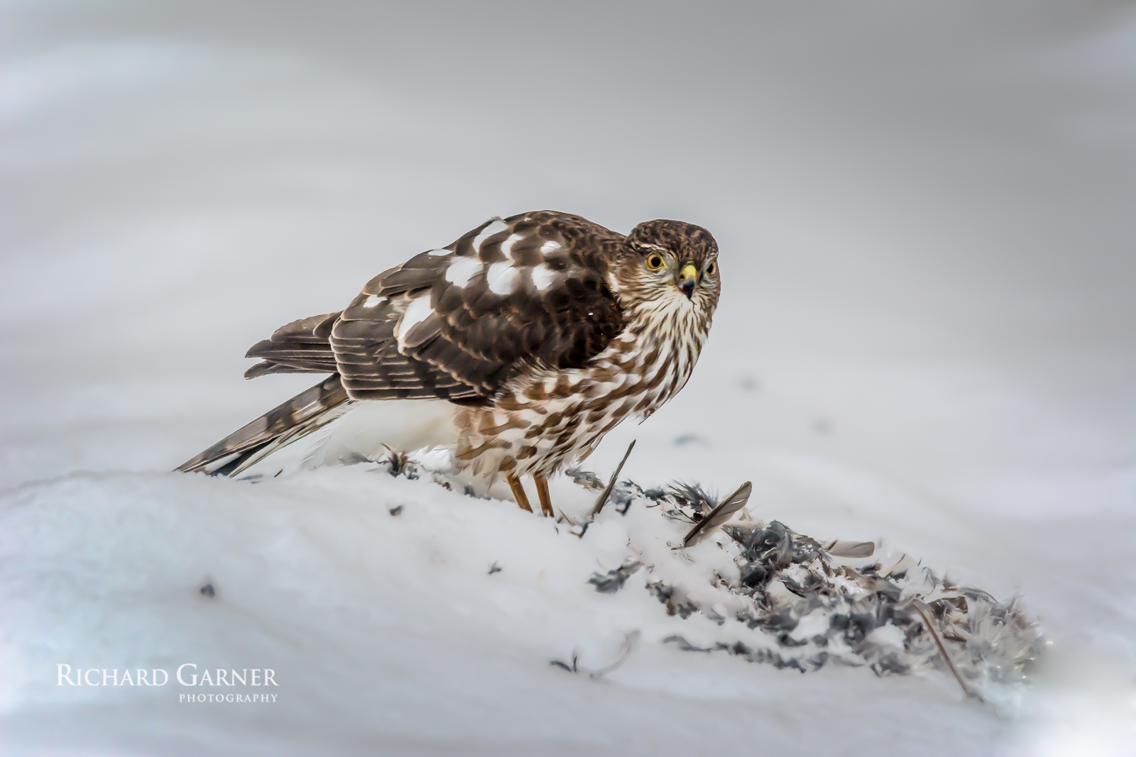 hawk  (1 of 1)2014-01-17.jpg