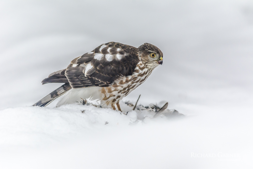 64 Sharp Shinned Hawk