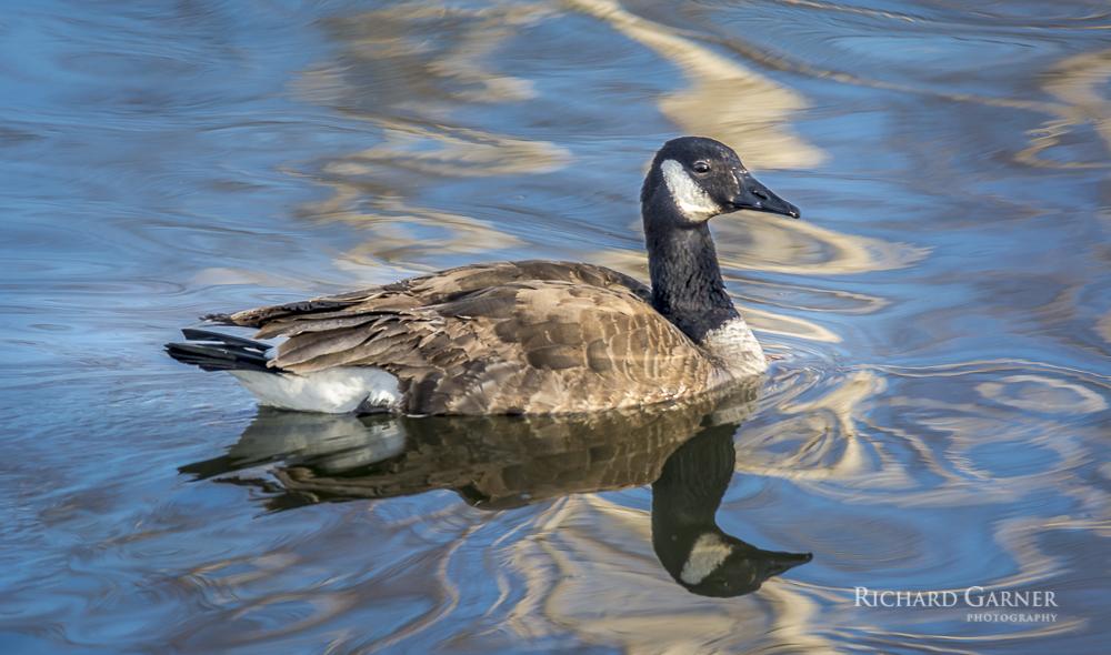 106 Canada Goose