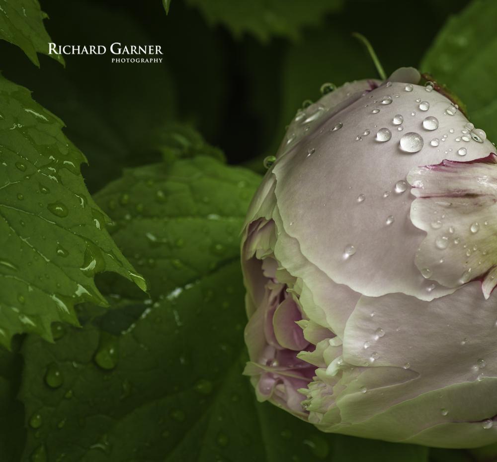 peony rose-1.jpg