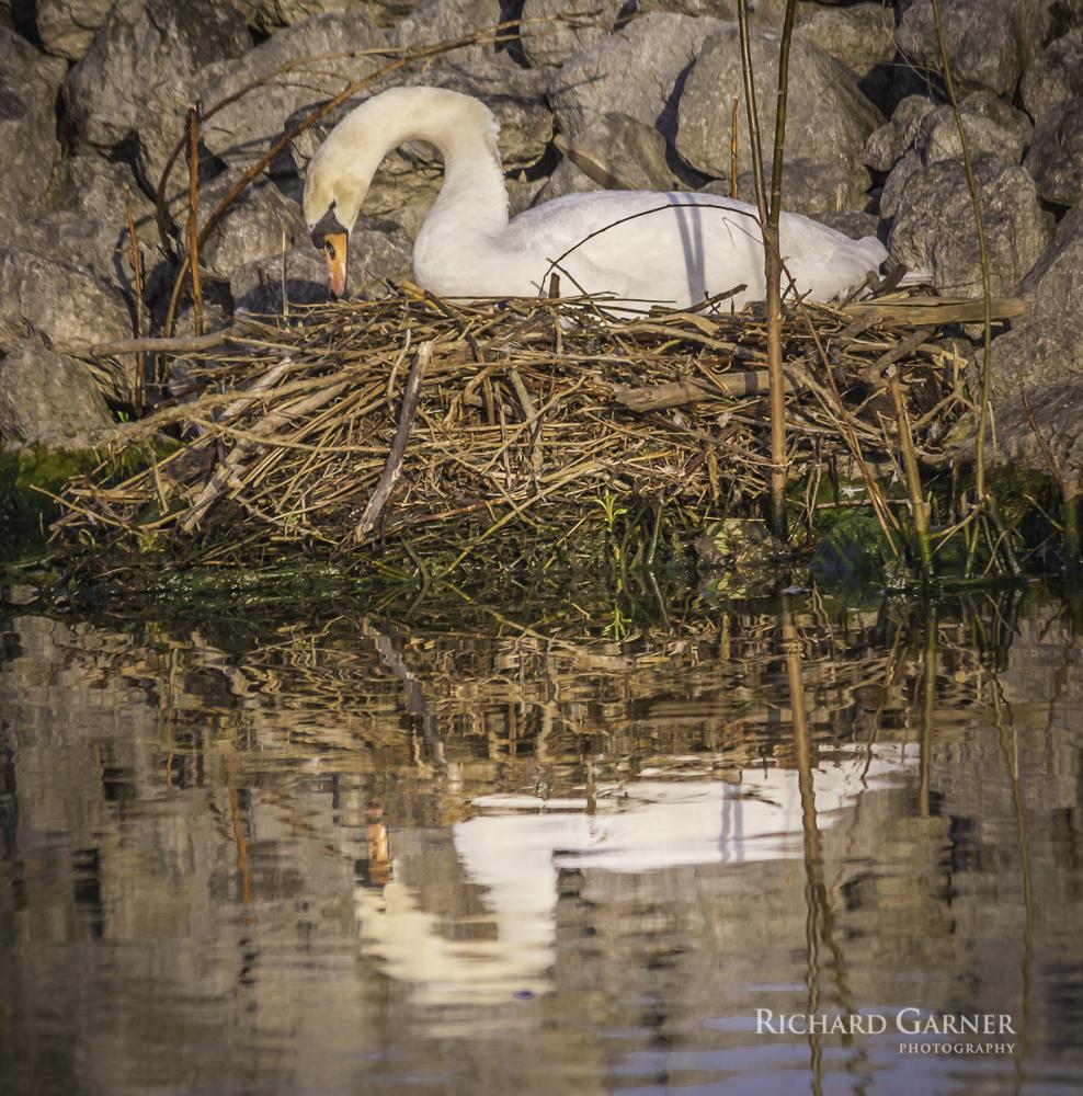 nesting swan-1.jpg