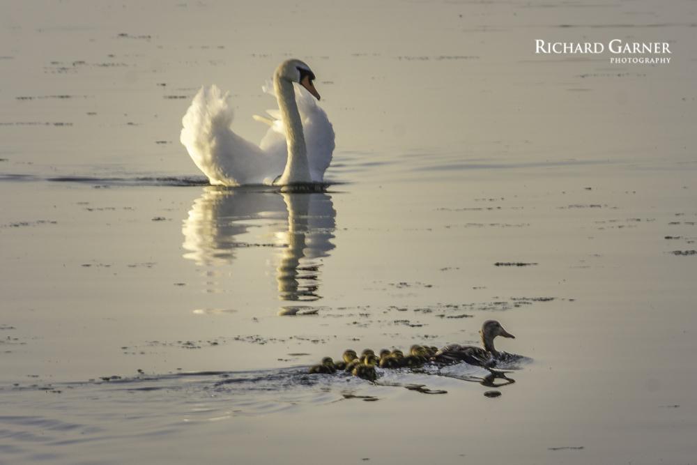 swan & ducks-1.jpg