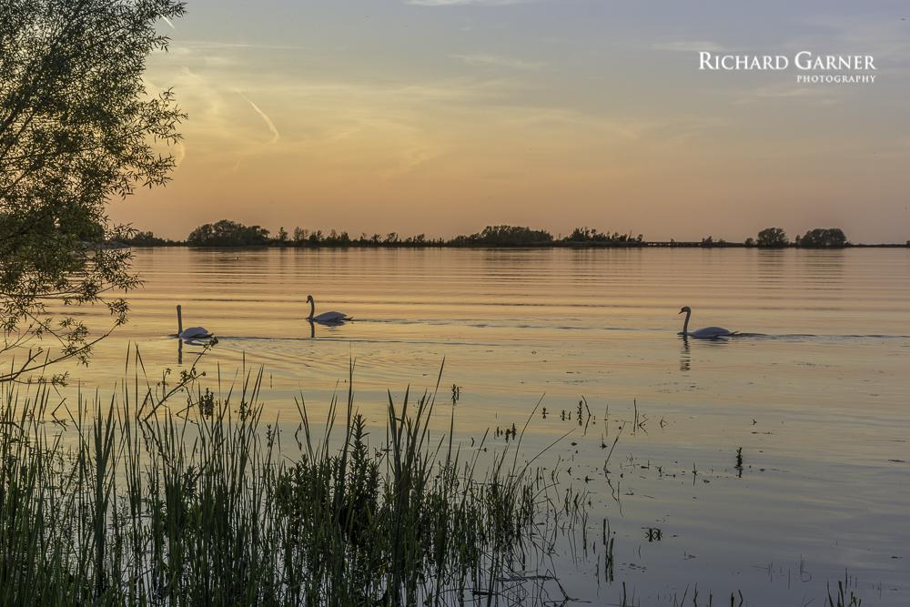 swans-1.jpg
