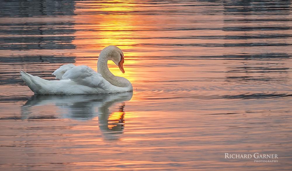 swan @ dawn -1-150829.jpg