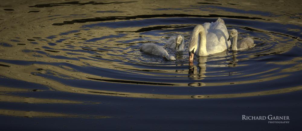 swan and babies-1-2.jpg