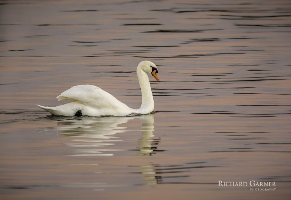swan-1-141111.jpg