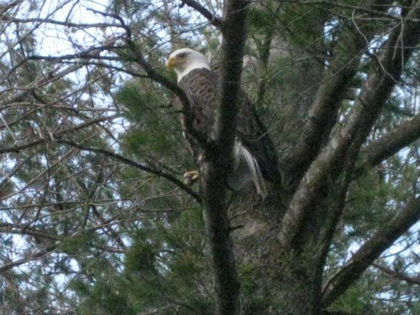 eagle at the big lake.jpg