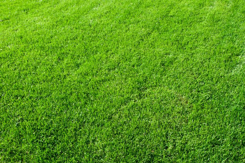 Green grass from a fertilized lawn