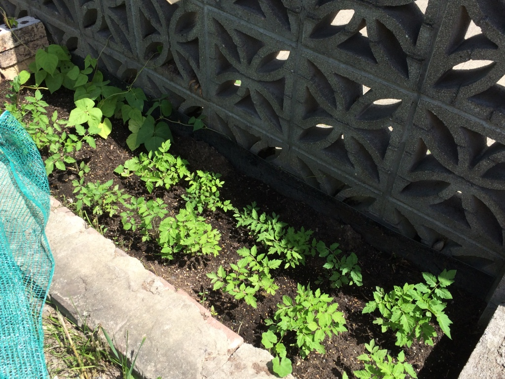 But alas eventually I was able to grow some tomato plants from seeds! :)