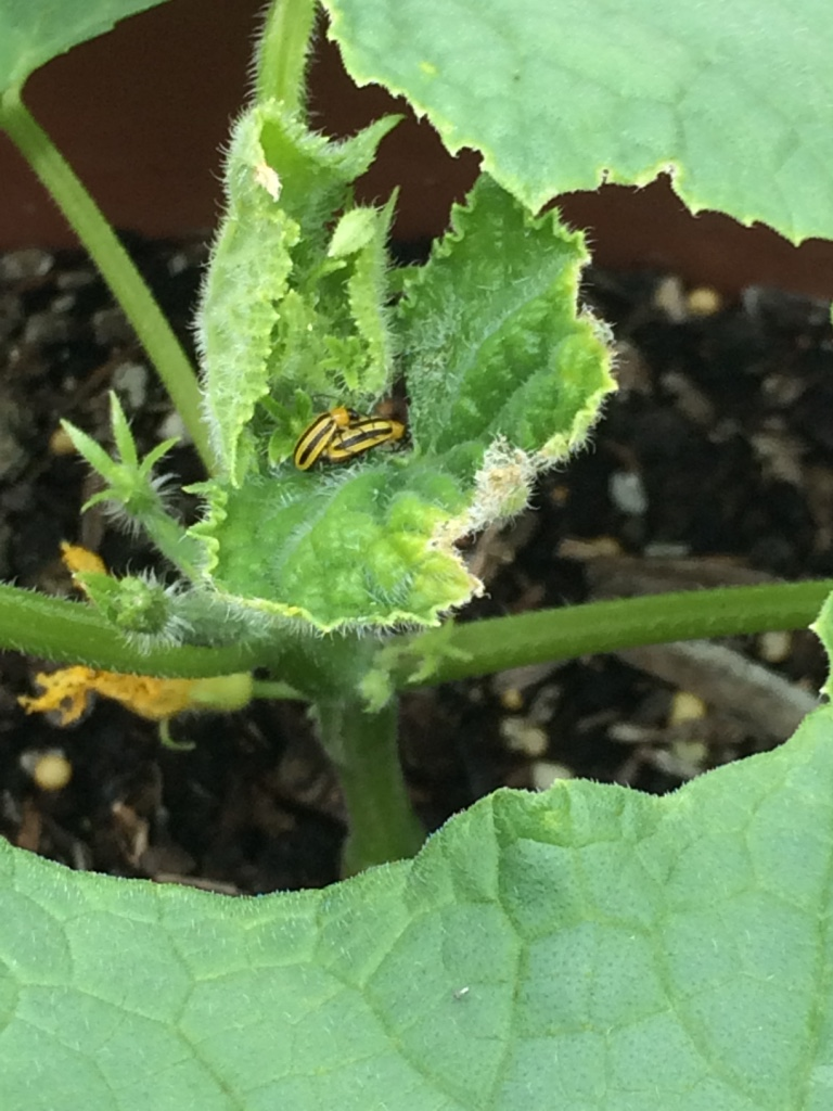 Back when I didnt know what these evil bugs were. Not only do they kill your plants, but they also have no manners and will get their freak on in the middle of your cucumber plants. Rude.