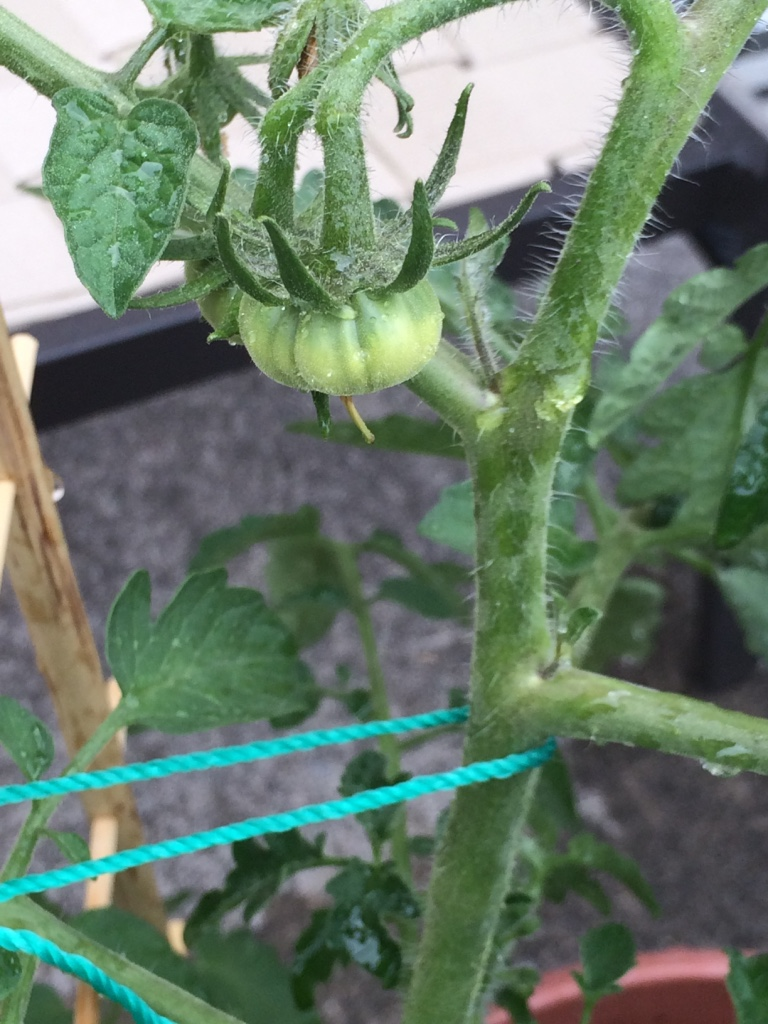 A small tomato plant I had bought as a seedling and ended up killing with blossom end rot. No tomatoes from this plant :(