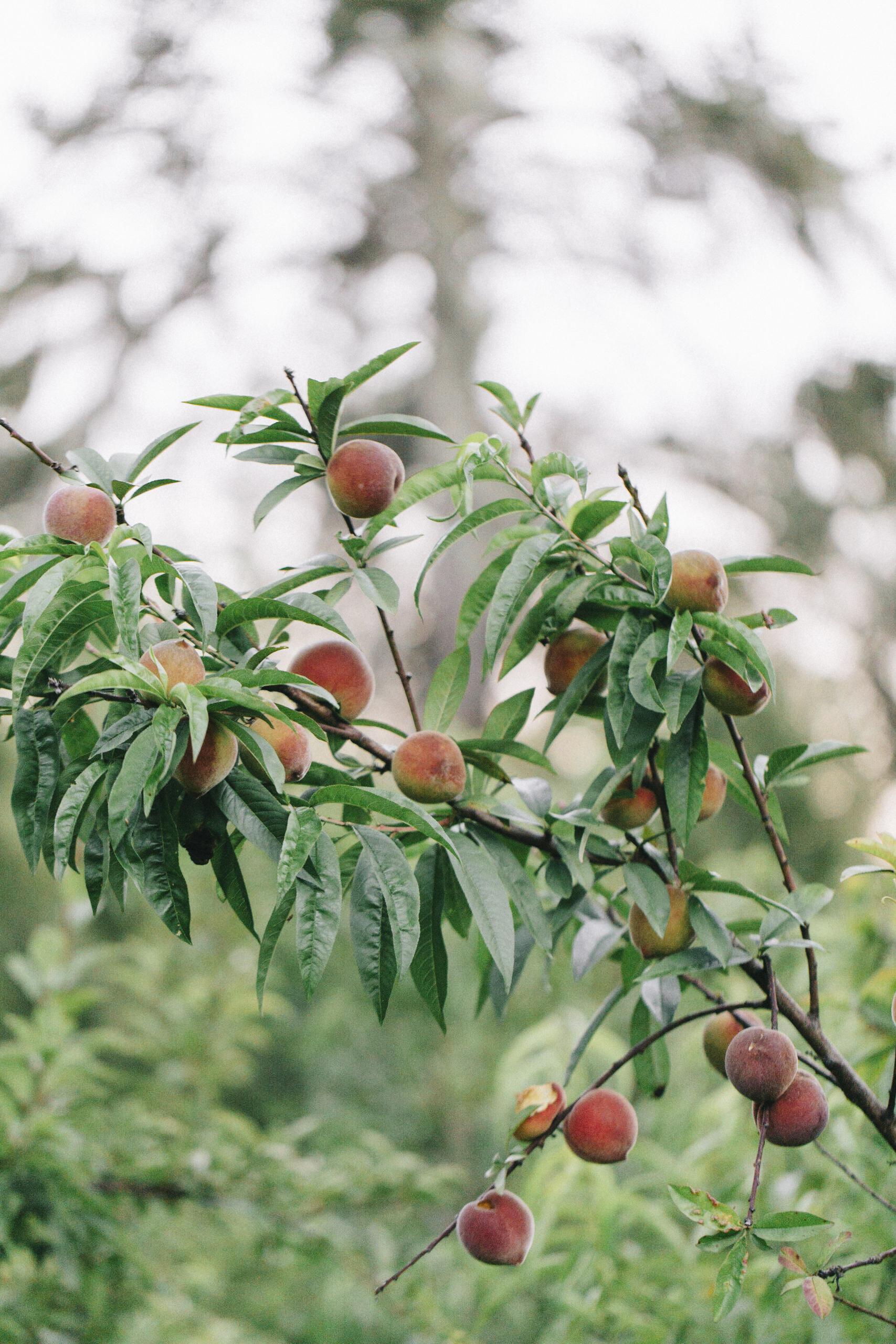 peach9369.jpg