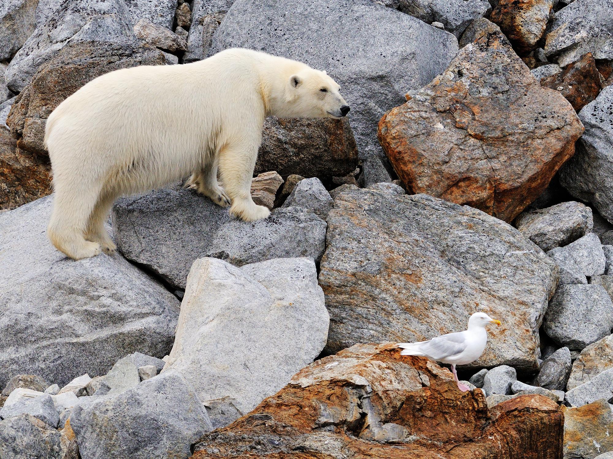 Polar Bear and Glaucous Gull