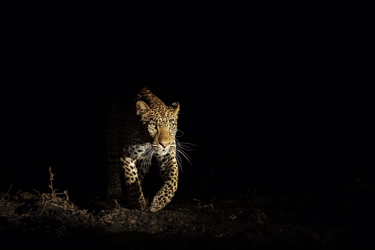 Leopard-Emerging-Out-Of-The-Shadows.jpg
