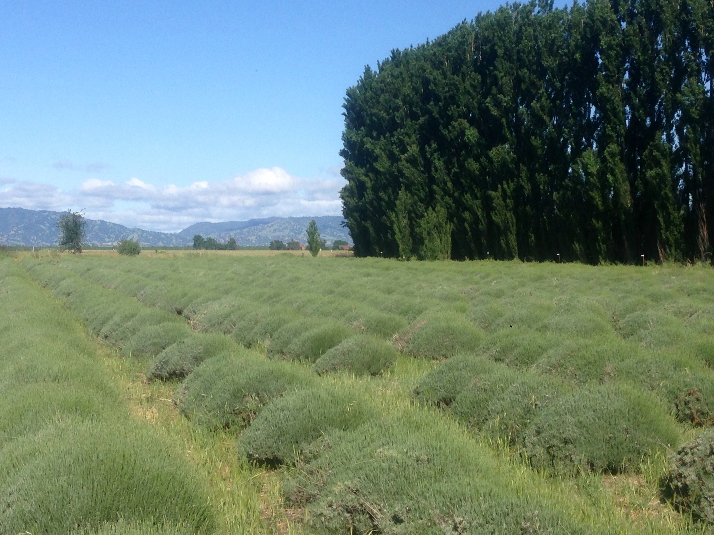 Lavender Fields In May