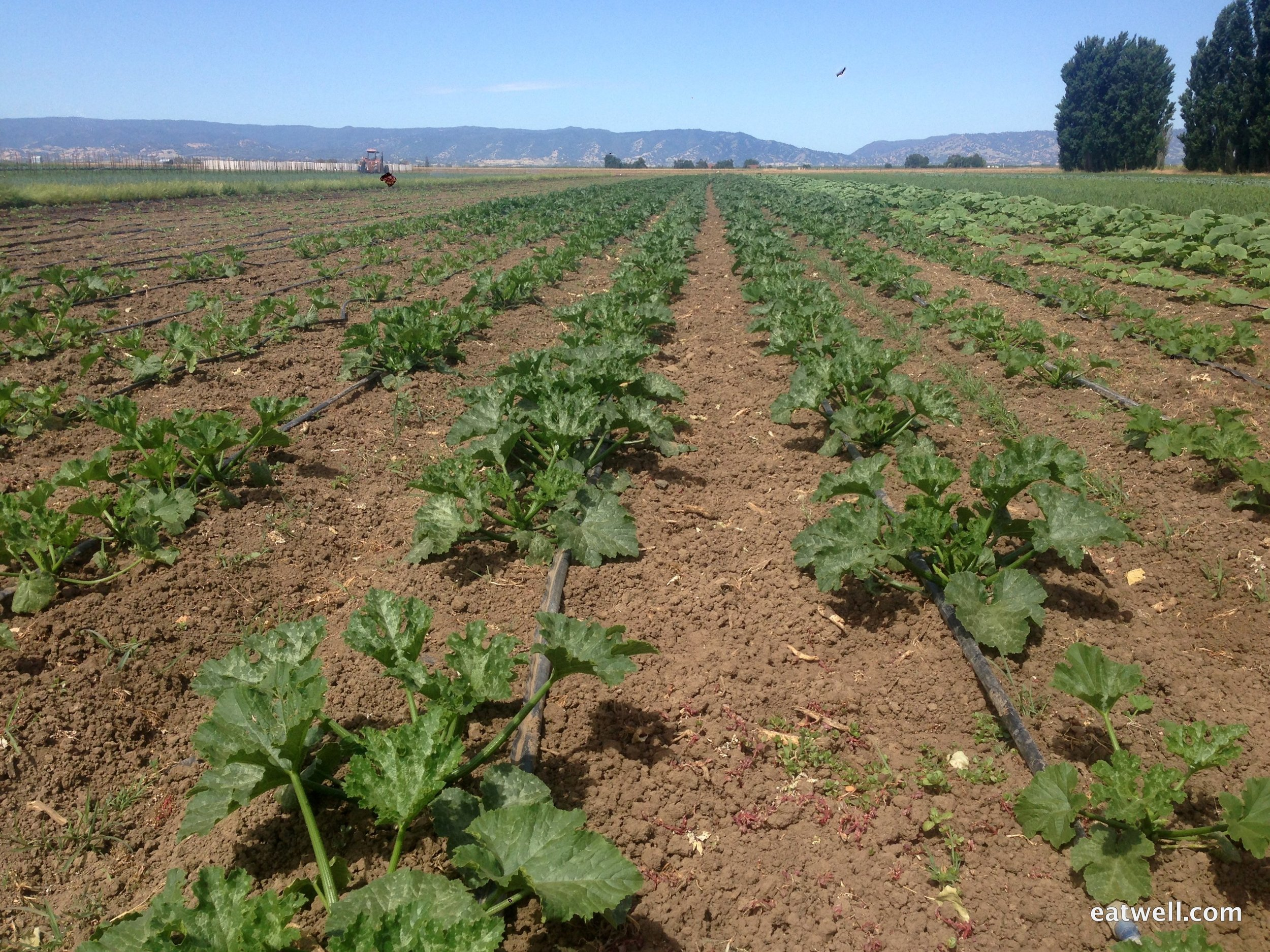 Drip lines along the rows of summer squash