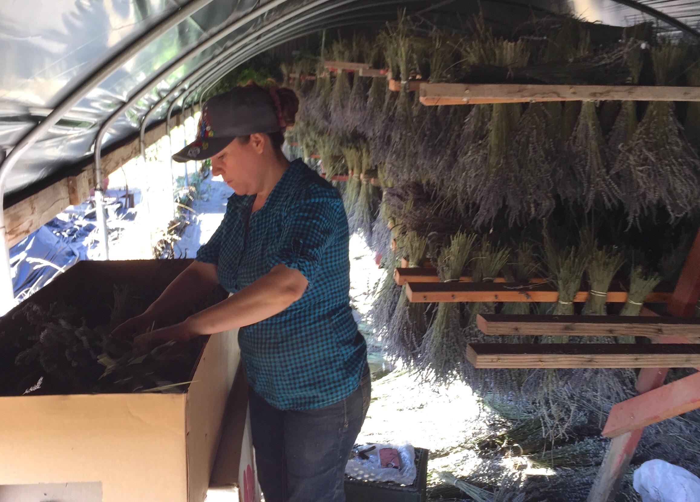 Juanita packing dried lavender at Eatwell Farm