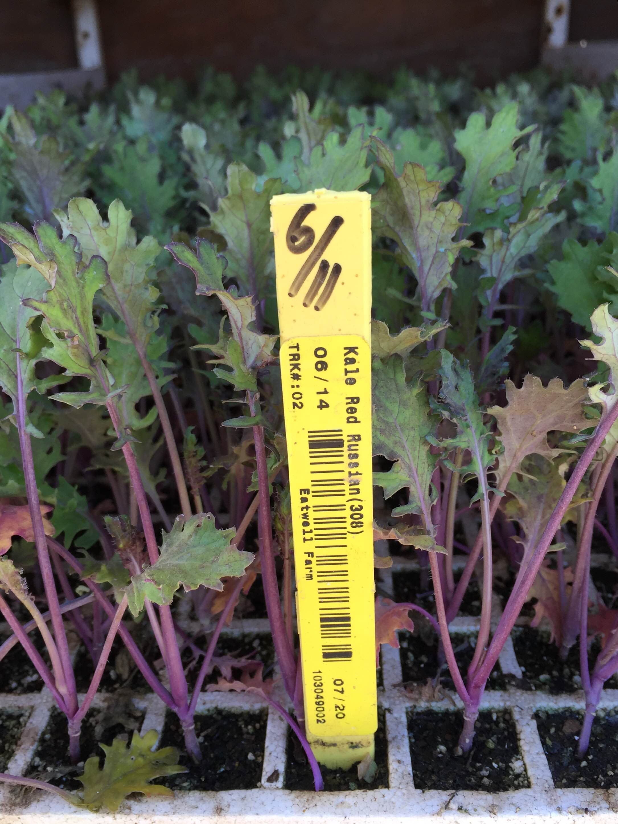 Red Russian kale transplants await planting later in the week.