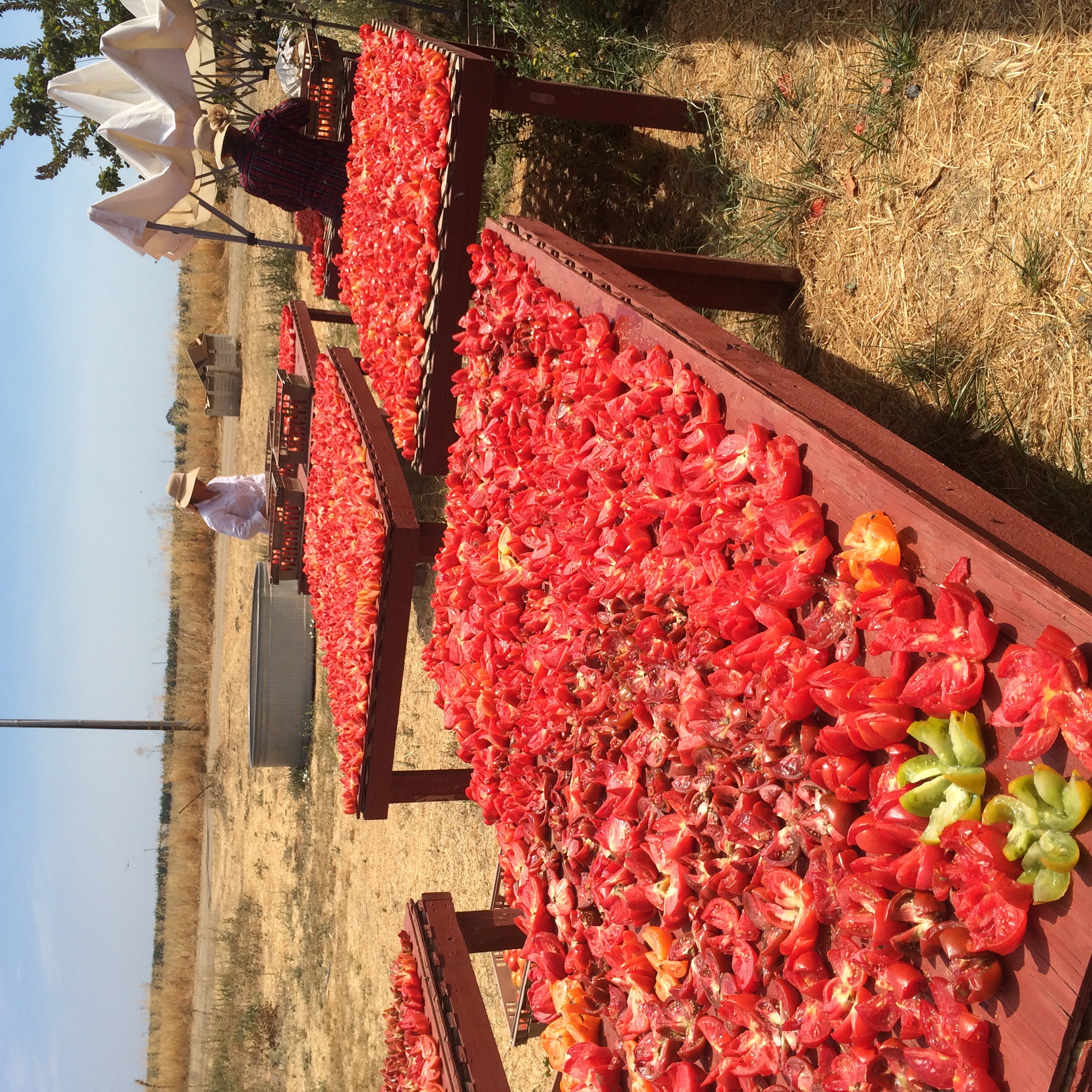 Juanita and Rosa cut and arrange fresh, organic heirloom tomatoes to dry in the sun.