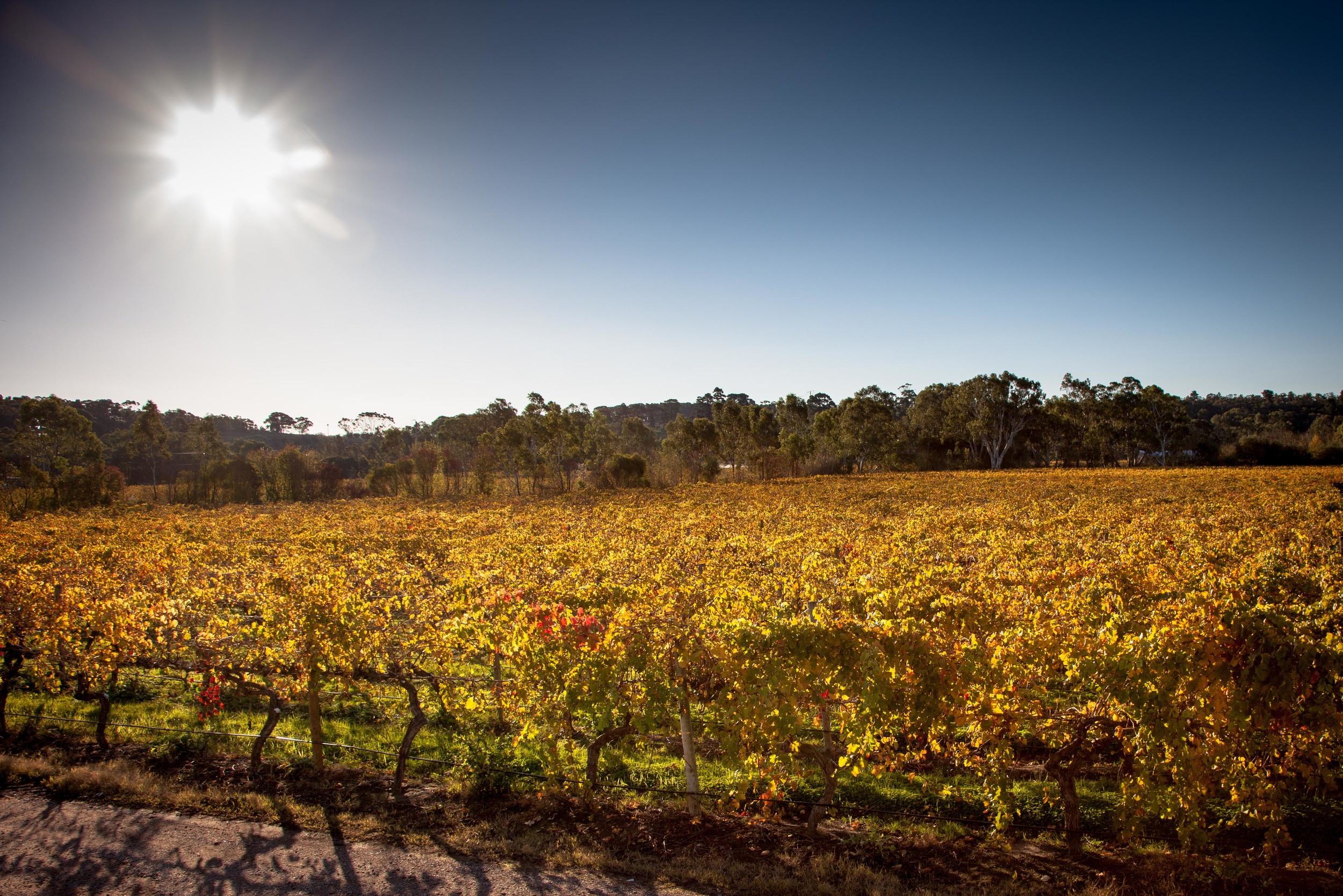 Sun shining over Shiraz grapes tothe north of the winery