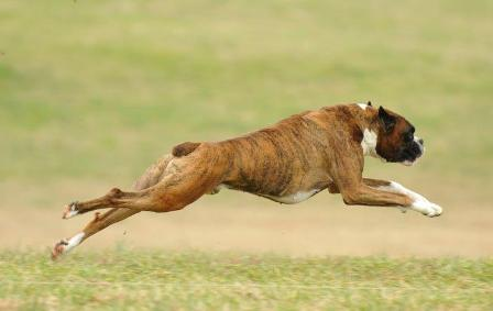 Nancy's Boxer, Kruzer, chasing his way to his AKC Coursing Ability Excellent title.