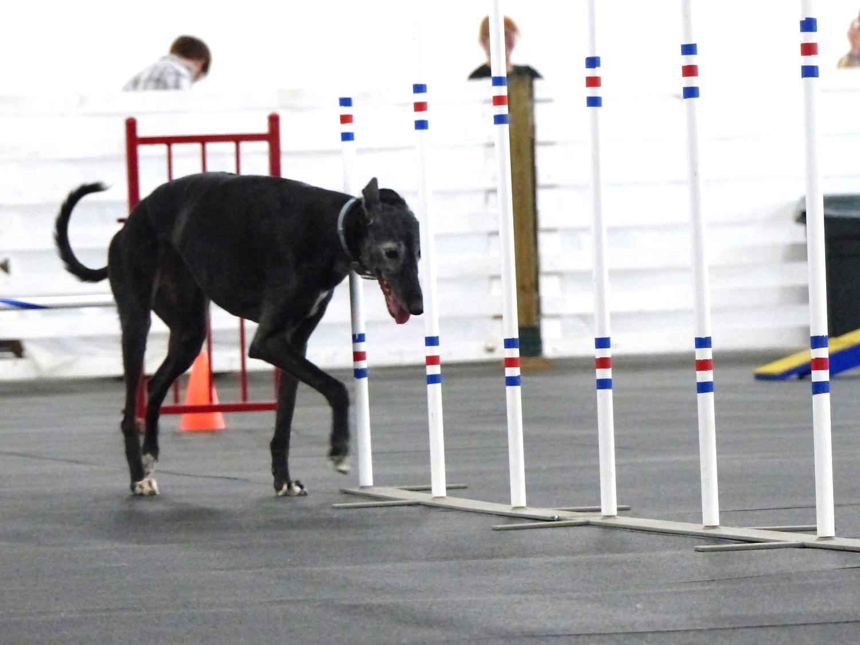 Agilitygrayhound6.JPG