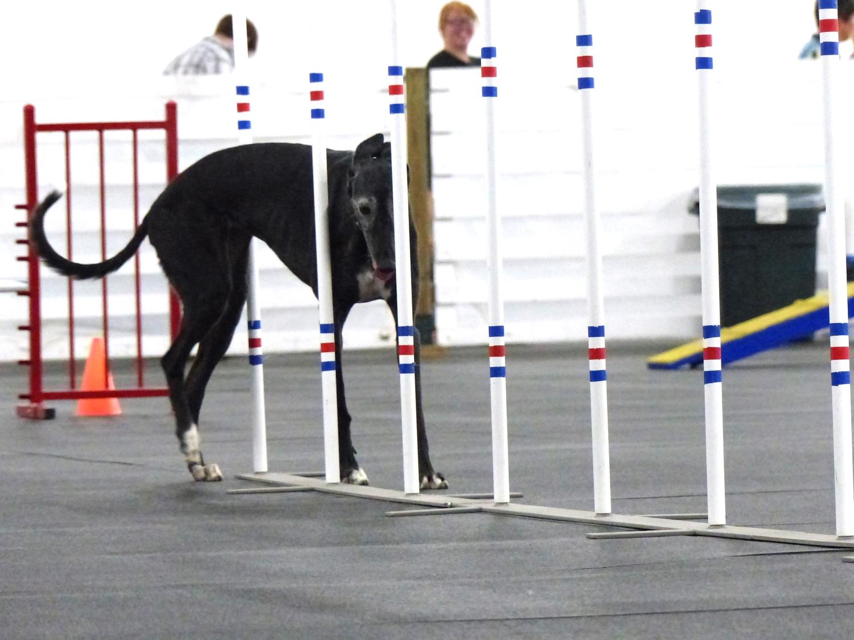 Agilitygrayhound5.JPG