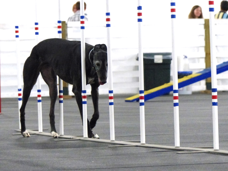 Agilitygrayhound4.JPG