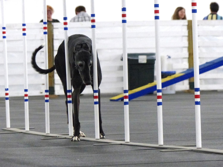 Agilitygrayhound3.JPG