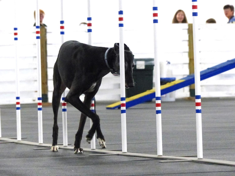 Agilitygrayhound2.JPG
