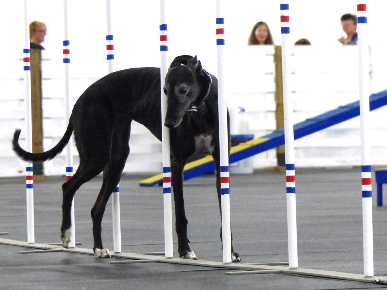 Agilitygrayhound.JPG