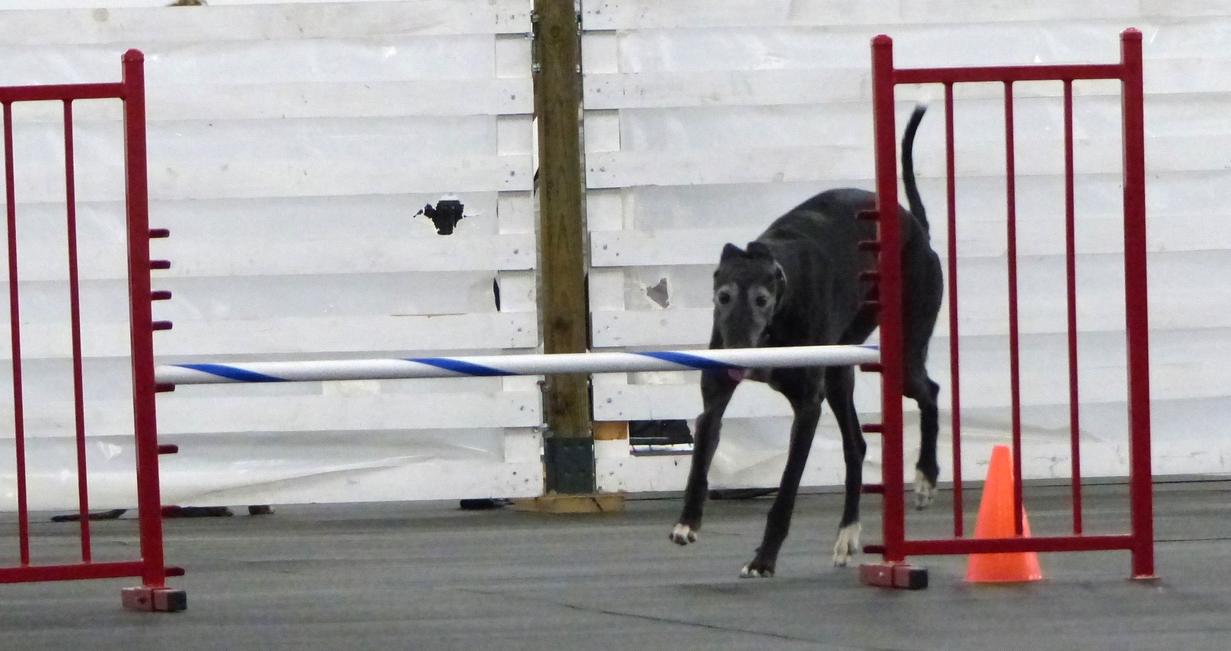 Agilitygrayhound8.JPG