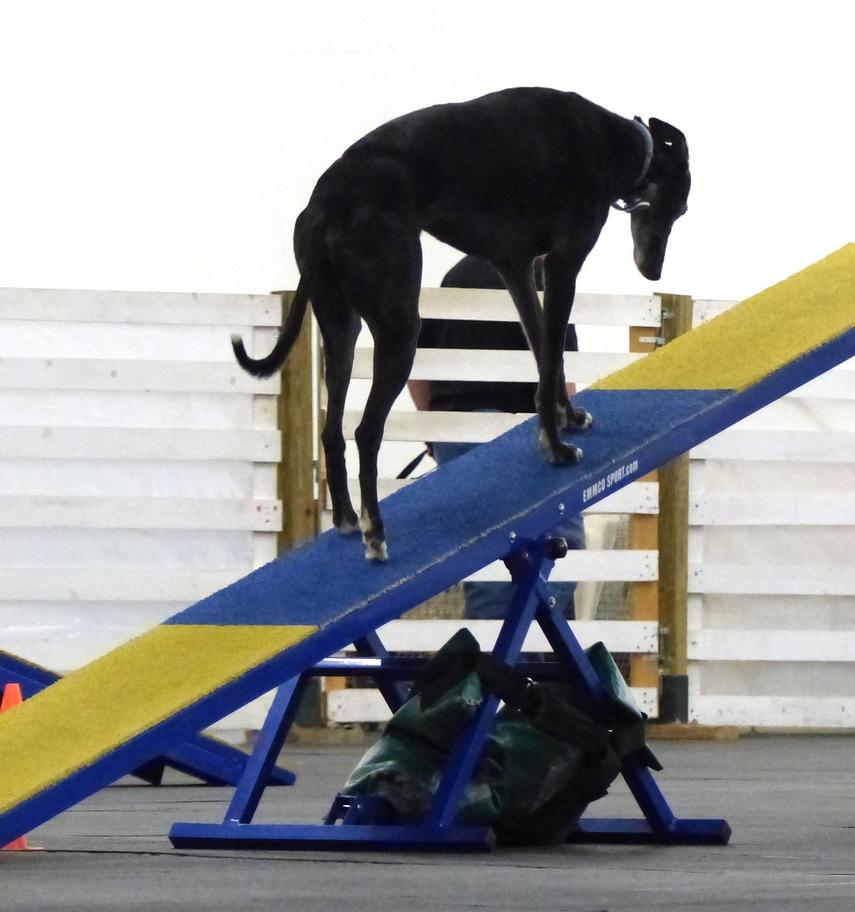 Agilitygrayhound9.JPG