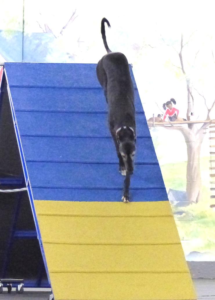 Agilitygrayhound11.JPG