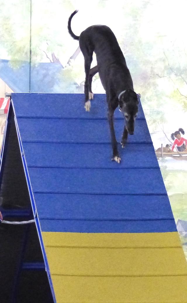 Agilitygrayhound12.JPG