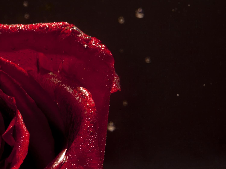 single rose.jpg