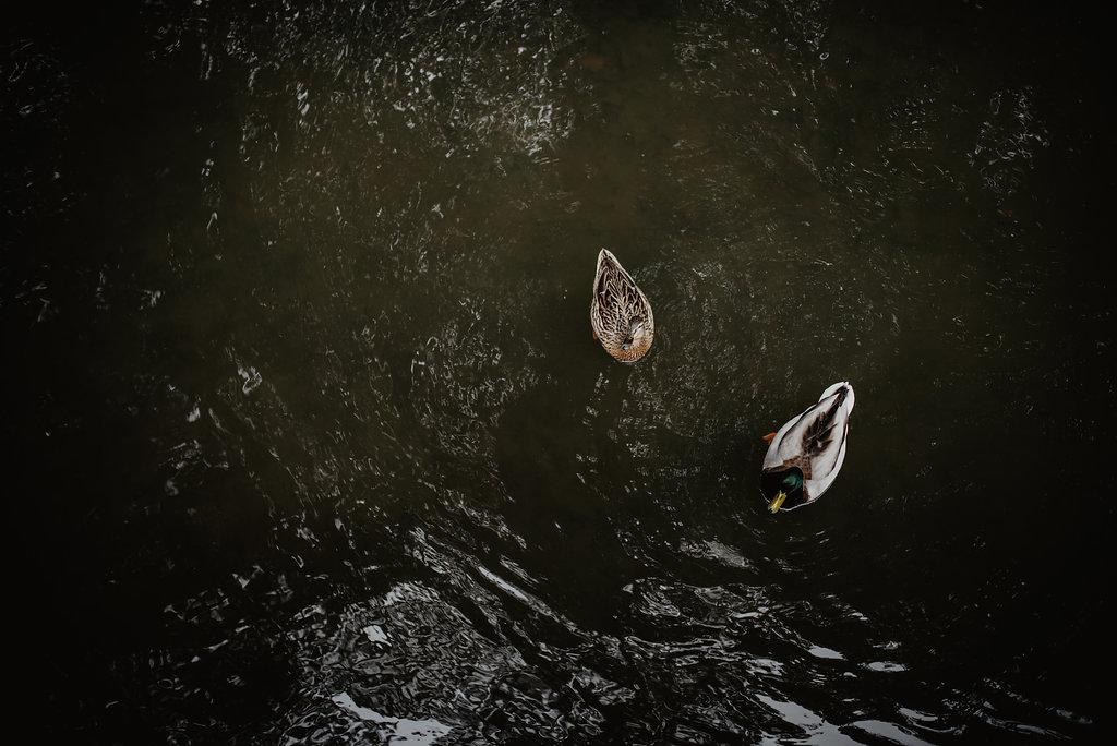 ducks in Cambridge canal