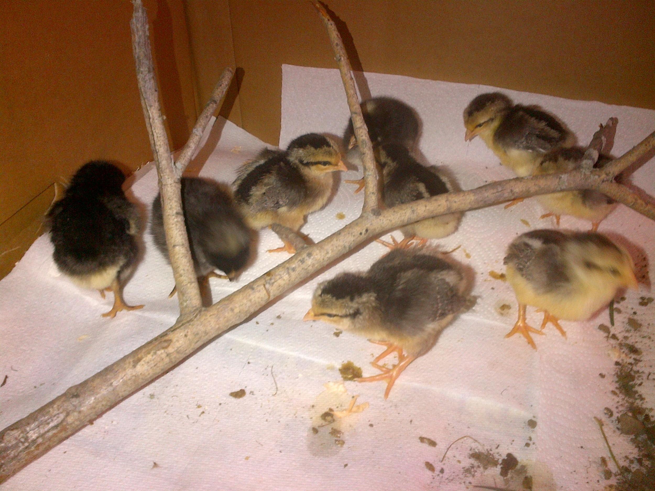 Busy chicks