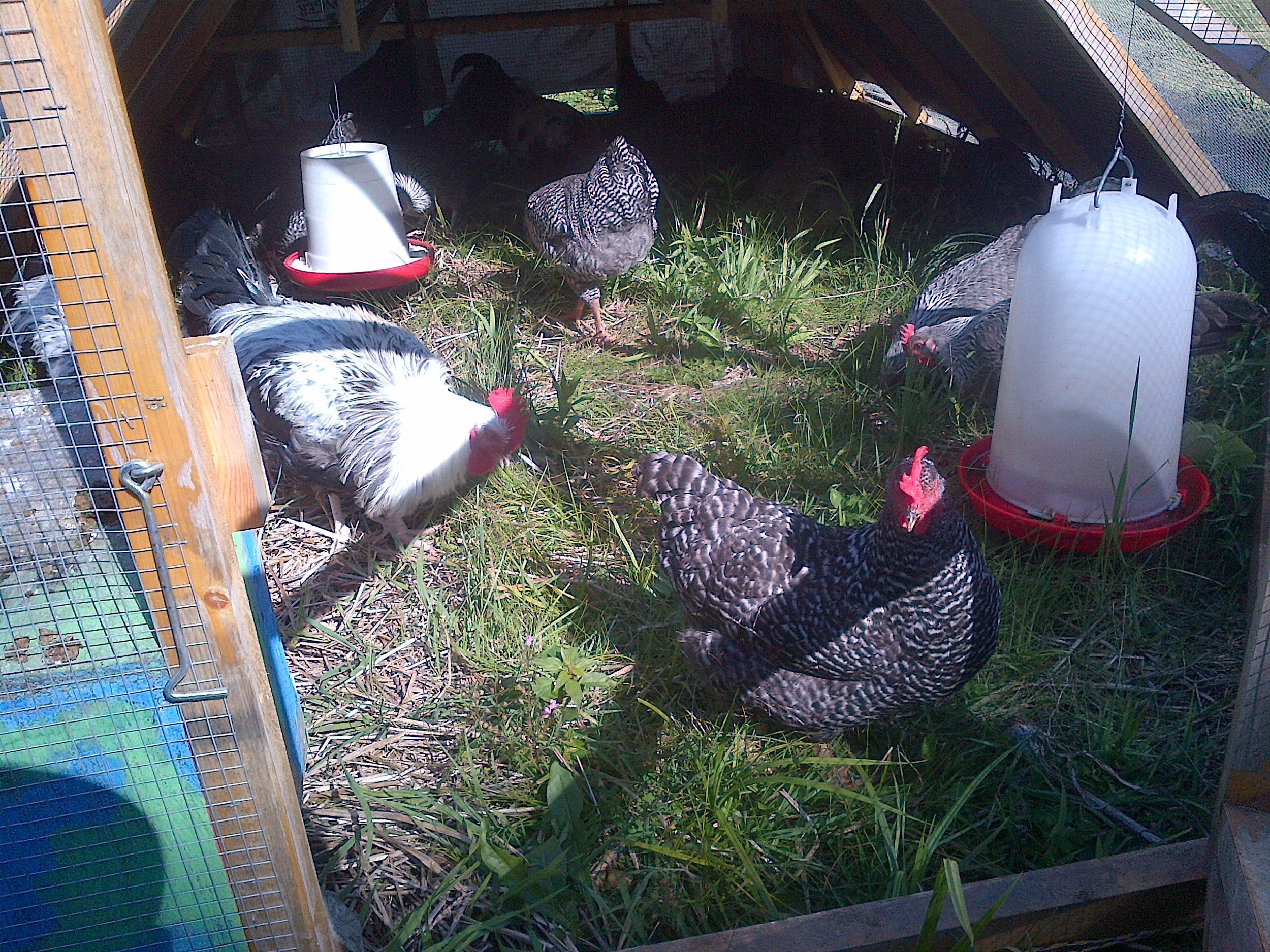 Chickens working in the garden
