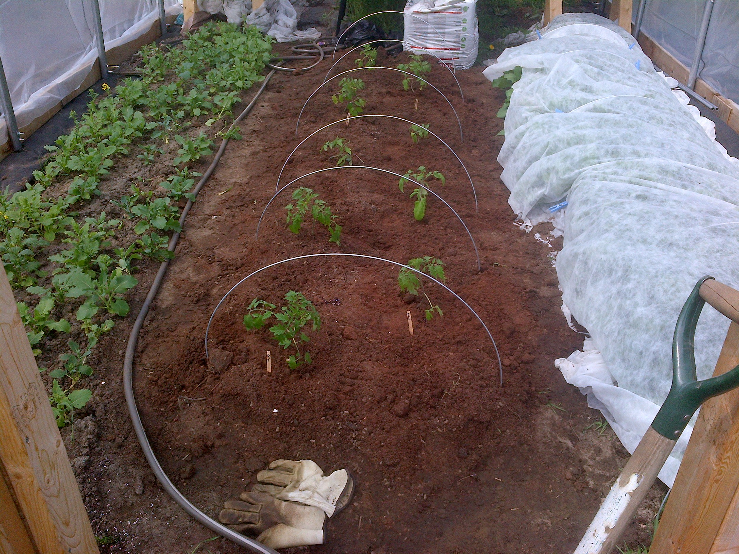Tomatoes in their new home